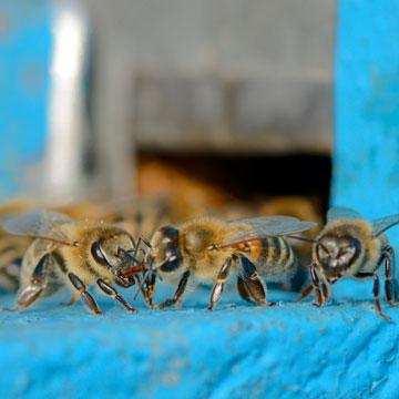 Imker werden und die Bienenzucht lernen