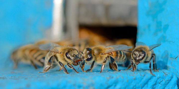Bienen verschwinden hält immer noch an.