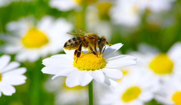 Bienen sterben, Schuld daran sind Pestizide