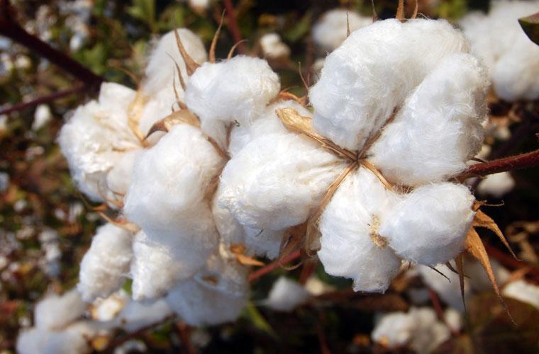 Bio-Baumwolle, Anbau, Nachhaltigkeit