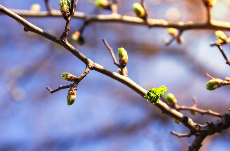 Gemmotherapie, Heilkraft aus Pflanzenextrakten