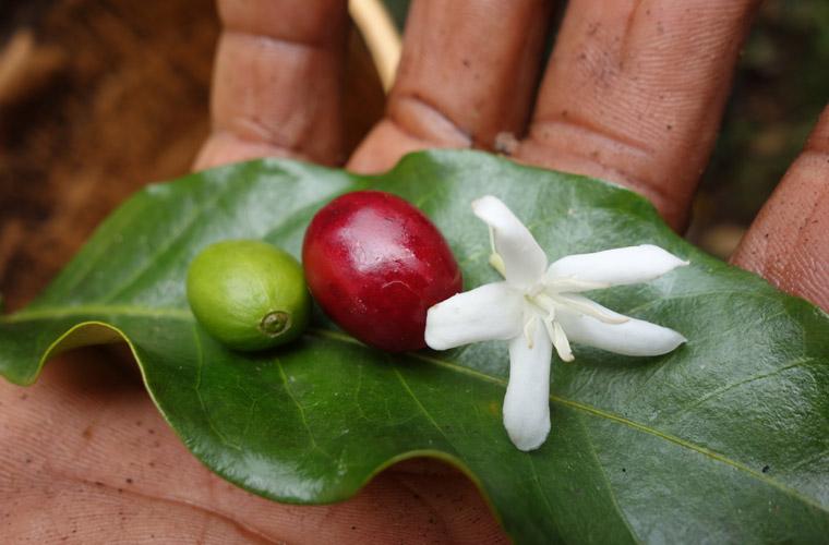 Kaffee, Kaffeerösterei, vom Kleinbauern zum Händler eine Geschichte