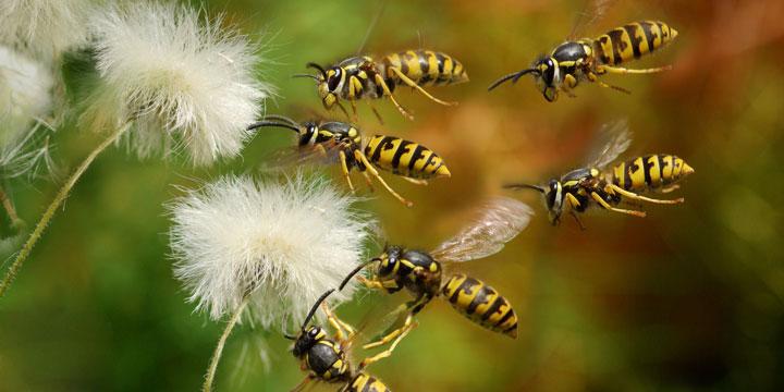 Wespen-Plage: Wo sind die Wespen in diesem Sommer?