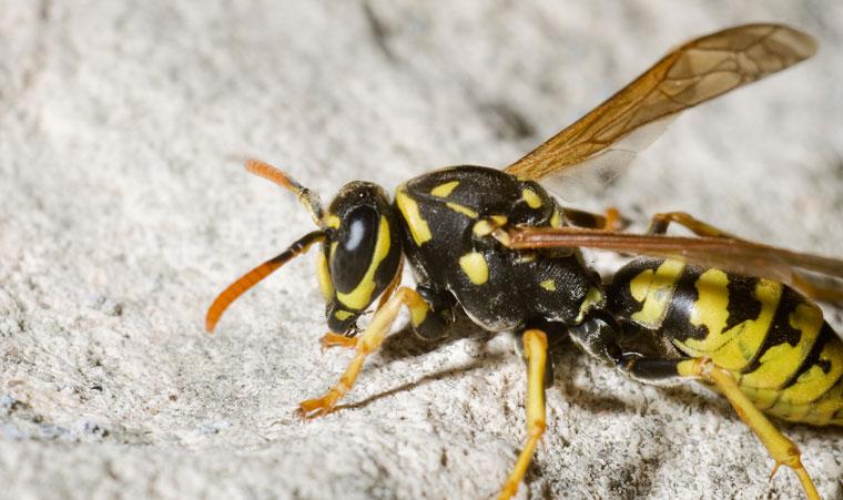 Wespen lästig aber nützlich, Plage im Sommer