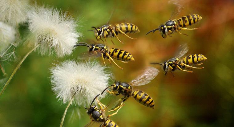 Wespen Invasion im Sommer, ecowoman Tipps gegen Wespen
