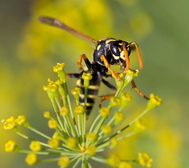 Wespe im Sommer, Tipps gegen Wespen