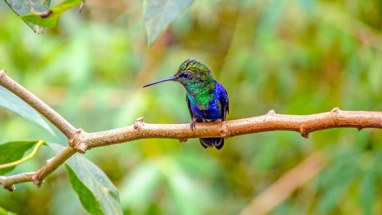 Andenkolibri Ecuador