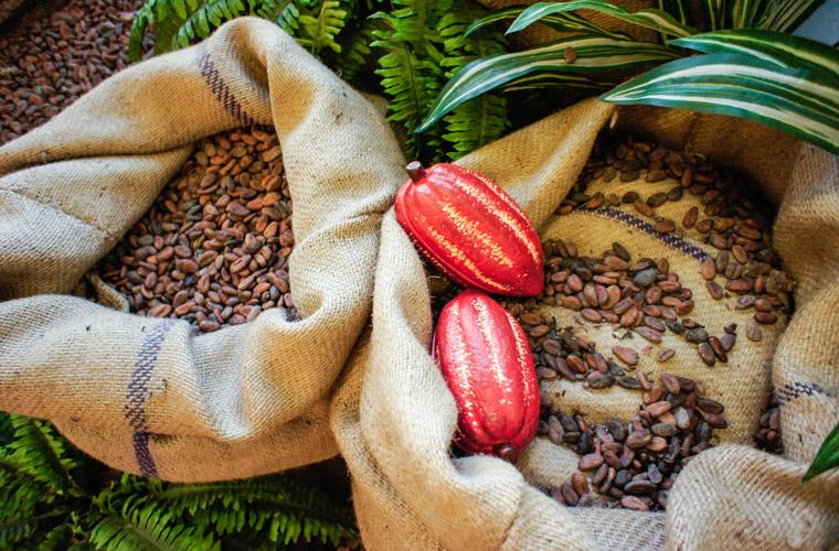 Kakaobohnen aus dem kleinen Land am Äquator, Ecuador