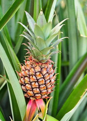 Piñatex – Ananas-Leder