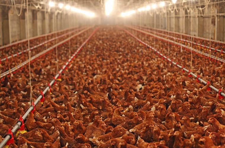 Huehnerfarm-Massentierhaltung-760.jpg