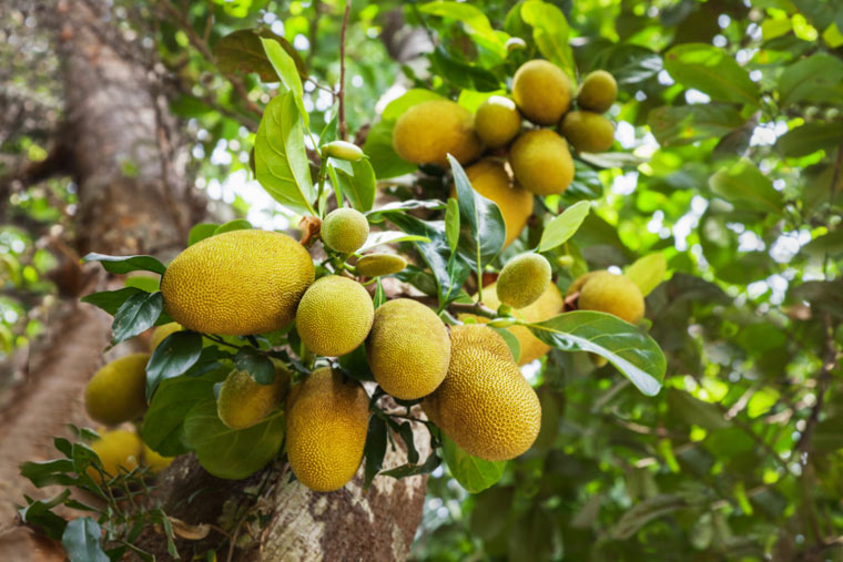 Jackfruchtbaum