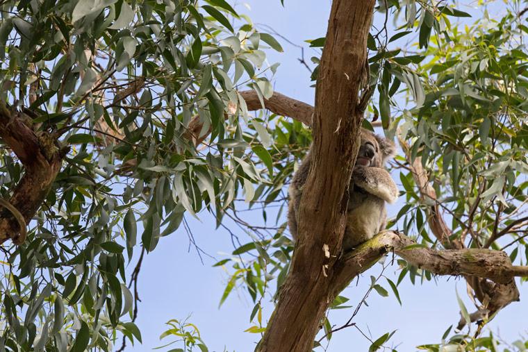 Lyocell – Koalas Liebling