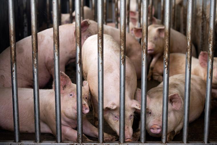 Schweine werden in der Mast unter erbärmlichen Bedingungen gehalten