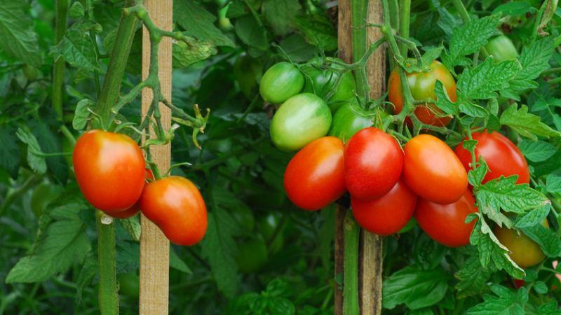 tomaten aus dem bio garten sind gesund und nachhaltig bildimpressionen aus dem nachhaltigen. Black Bedroom Furniture Sets. Home Design Ideas