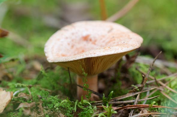 Reizker (Lactarius)