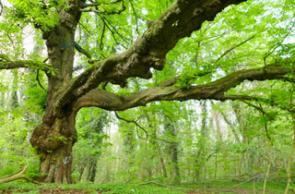 Alt- und Uraltbäume in Nordrhein-Westfalen