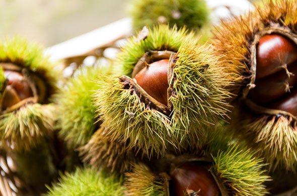 Sowohl Esskastanien als auch Maronen reifen in einer stacheligen grünen Hülle