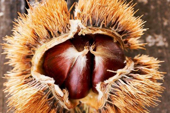 Maronen sind vor allem an der Fruchtspitze leicht behaart