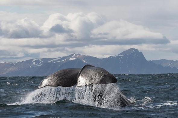 Die Weisheit der Wale