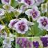 Pflanzenpaket Veilchen-Vielfalt