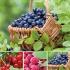 Pflanzenpaket Marmeladebeeren für Balkonien