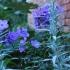 "Pflanzenpaket ""Rosenbegleiter"", Blautöne"
