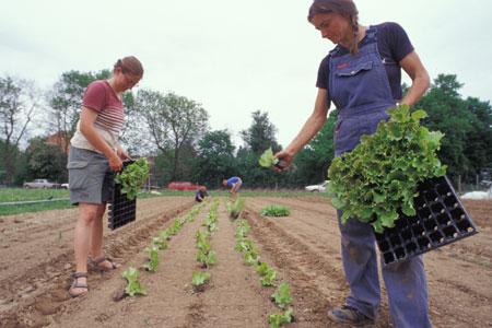 Salatpflanzen in Handarbeit. Im Ökolandbau ist der Arbeitsaufwand größer.