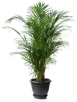 Tipps gegen Schlaflosigkeit: Areca-Palme - natürlich einschlafen