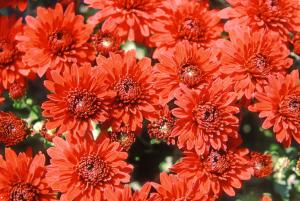 Chrysanthemen Schone Blume Fur Herbst Dekoration