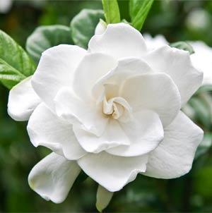 Tipps gegen Schlaflosigkeit: Gardenie - natürlich einschlafen