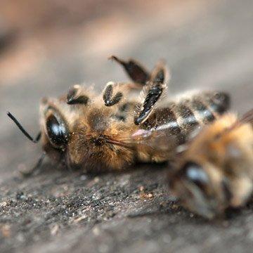 So qualvoll sterben Bienen für Billighonig