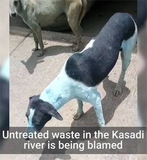 Verschmutzter Kasadi-Fluss in Indien färbt Hunde blau