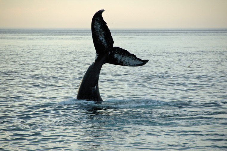 Japan ist der letzte Staat der Welt, der Wale fängt und tötet