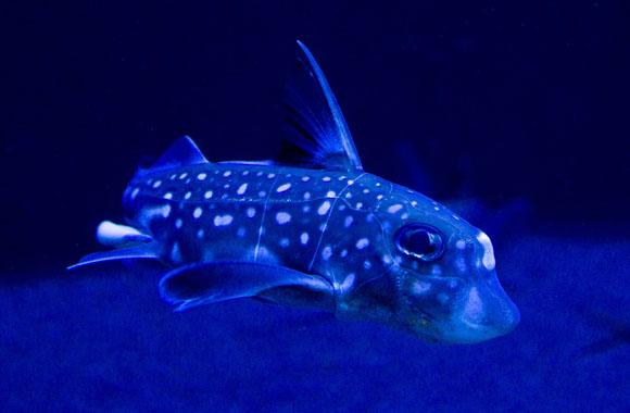 Ein außergewöhnliches Wesen: der Chimären Fisch