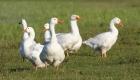 Schluss mit der Tierquälerei durch neuen Daunenstandard RDS