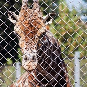 Zoo Giraffe Tierquälerei