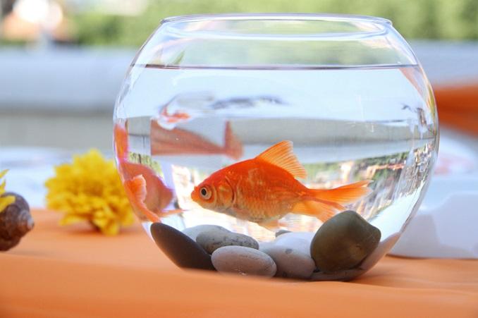 Goldfische gehören nicht ins Glas ©JoannaBoiadjieva/iStock/Thinkstock