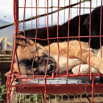 Grausames Hundefleischfestival in China