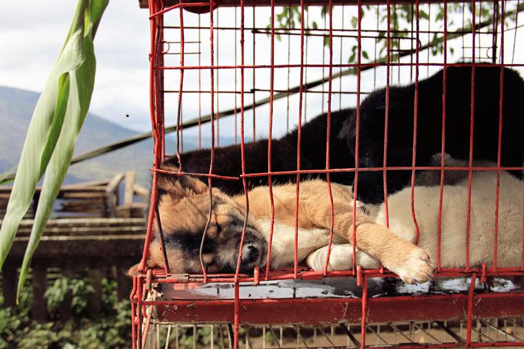 10'000 Hunde sterben jedes Jahr bei chinesischem Hundefleischfestival