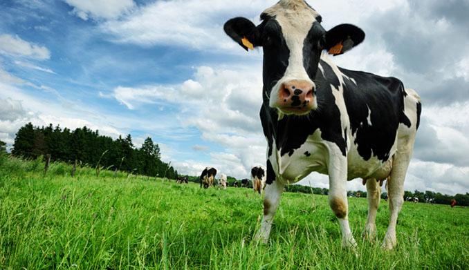 Die Illusion der Kuh auf einer großen Weidefläche © Digital Vision (thinkstock)