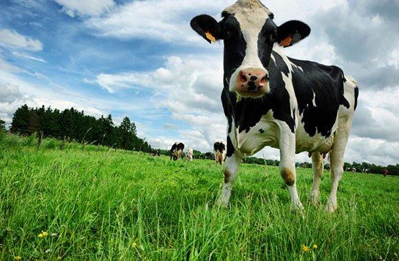 Kuh+Du: Schluss mit dem Leid von Milchkühen