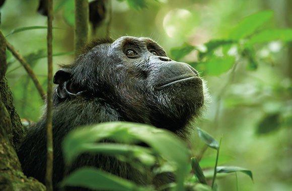 Rettet Disney Schimpansen?