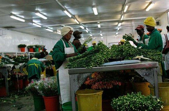Afrikas Blumenindustrie gräbt sich selbst das Wasser ab