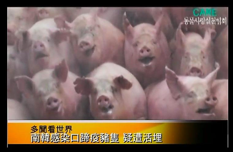 Schweine Massensterben