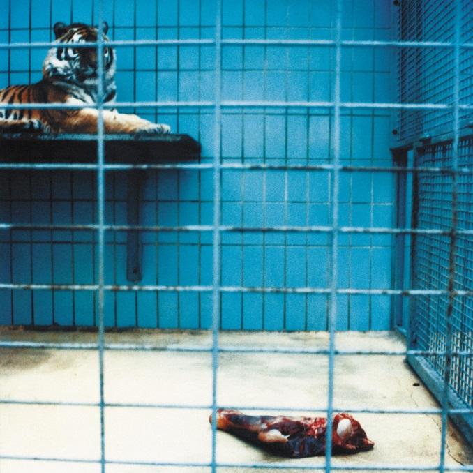 Zoo Tiger Fleisch Schlachtung