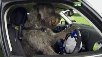 Plädyoer für Tierschutz: Hund fährt Auto