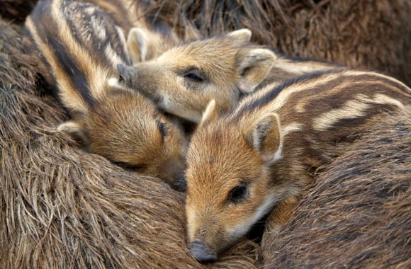 Fotostrecke Heimische Tiere: Das Wildschwein