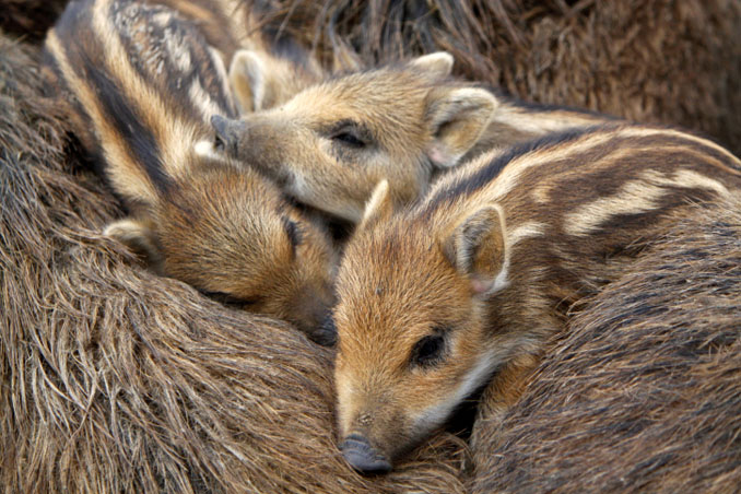 Wildschwein_Babys