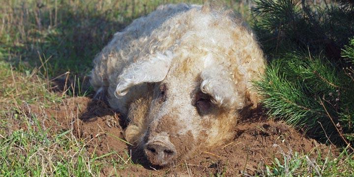 Farmer und Feinschmecker lieben das Wollschwein