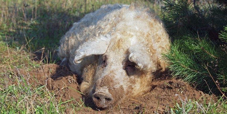 Wer das Wollschwein retten will, der muss es essen